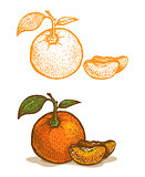 Illustrations of tangerine