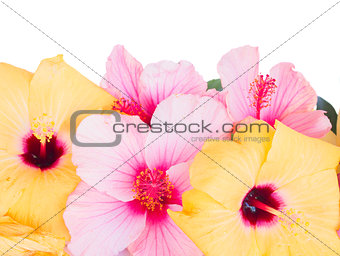 close up border of colorful hibiscus flowers
