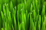 Fresh Green Wheat grass with Drops  / macro background