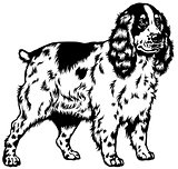 english cocker spaniel black white