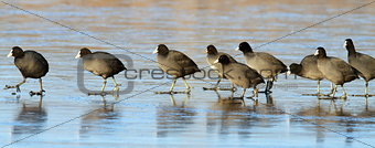 flock of coots walking on ice