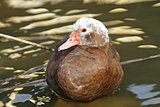 muscovy duck standing in water