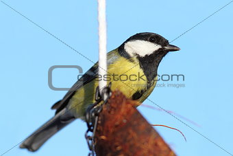 great tit on coconut feeder