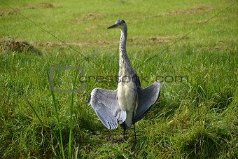 A heron enjoy the Sun in a meadow near the Horsten in Wassenaar, Netherlands.