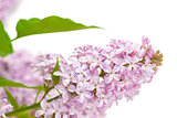 lilac with green leaves