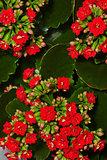 Geranium in bloom