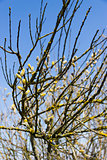 group of spring pussy-willow branches on blue sky background