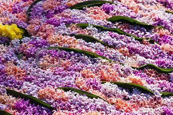 Background of Pink flowering hyacinths
