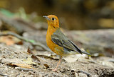 female Orange-headed Thrush (Zoothera citrina)