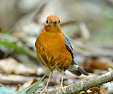 male Orange-headed Thrush (Zoothera citrina)