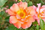 Rose wild roses