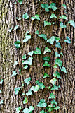 ivy climbing (lat. Hedera helix) to the trunk of the tree