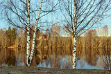 Birches and water mirror in late fall
