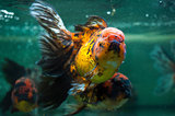Oranda close up.