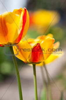 beautiful colorful yellow red tulips flowers