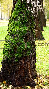 Green moss on birch tree