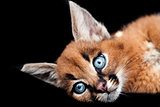 Caracal Young Cat