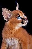 Caracal Young Cat