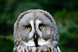 head of siberian gray owl