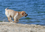 yellow labrador running at the sea