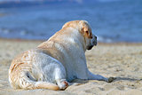 yellow labrador looking at the sea