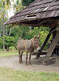 Donkey, Cane Mill, Saint Lucia