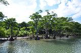 Riverside mangrove