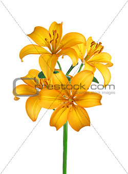 Beautiful yellow lily isolated on white