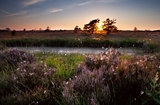 sunset over swamps and flowering heather