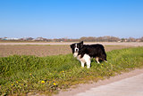 Border Collie dog in Dutch farmland