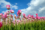 beautiful pink tulips on spring field