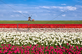 blossoming tulip flowers and Dutch windmill