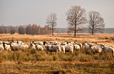 sheep herd before sunset in Dwingelderveld