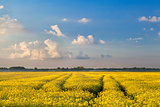 rapeseed flowers field and blue sky