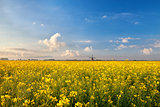 rapeseed flowers field and windmill