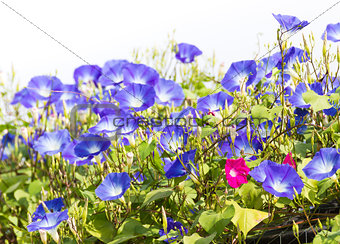 Blue Morning Glory flower in nature
