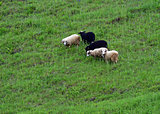 Sheep grazing in a pasture in the spring
