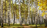 Path in birch sunny forest