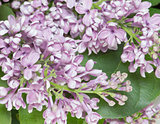 Lilac branch close up.