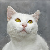 White cute cat