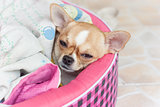 dog Chihuahua sleeping blanket