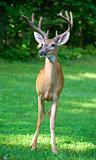 Stoic buck