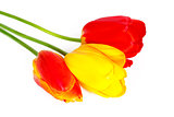 Three colored tulips on a white background