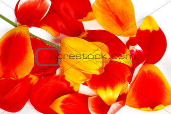 One yellow tulip on many red tulip petals