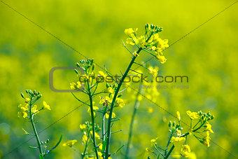Blooming rape in the field in spring