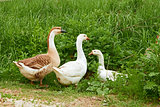 Two geese and goose on the meadow