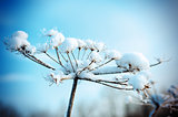 Winter scene .Frozenned flower