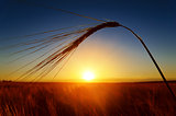 sunset and ears of ripe wheat