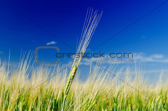 one green wheat on field and deep blue cloudy sky