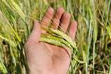 hand with green barley